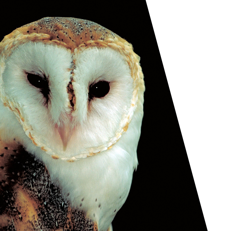 barn owl looking straight