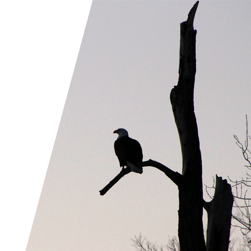 Search Engine Optimisation Background Image of Eagle sitting on branch