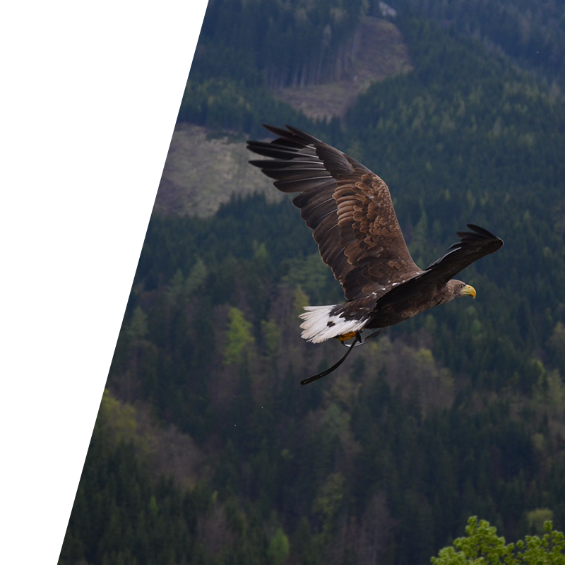 eagle flying over a wood