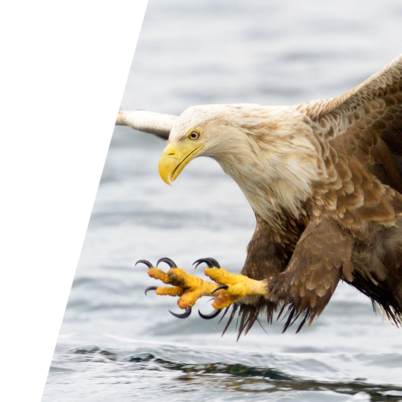 Search Engine Optimisation Background Image of Eagle catching prey