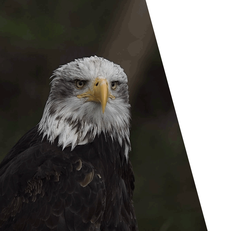 close up of a dirty eagle