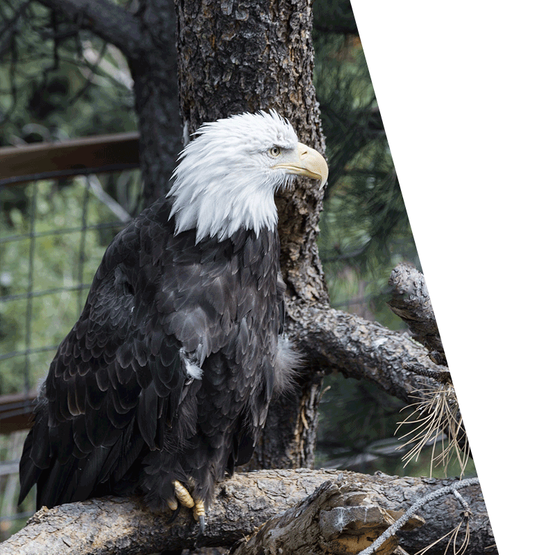 eagle sat in a tree in front of a fence
