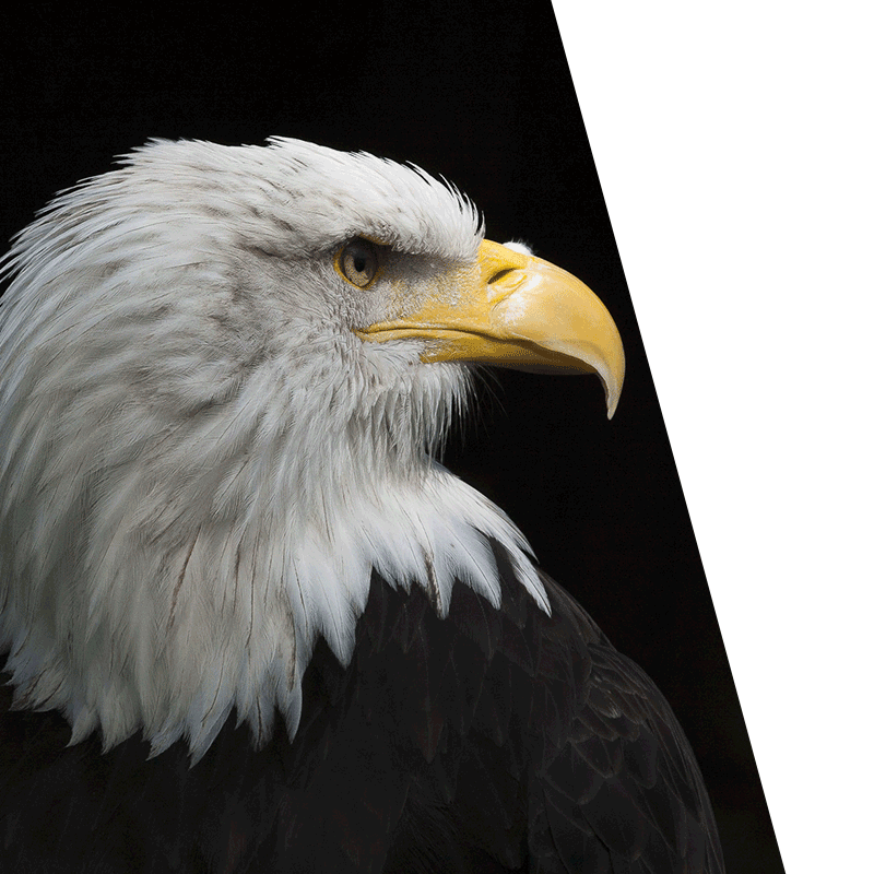 eagle looking right in front of black background