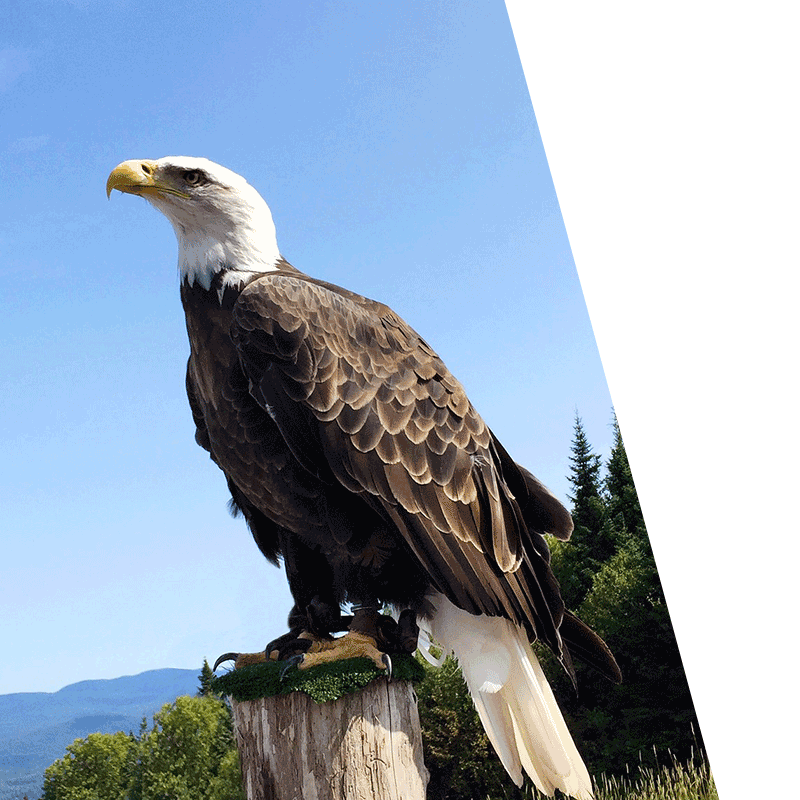 eagle perched on top of tree stump