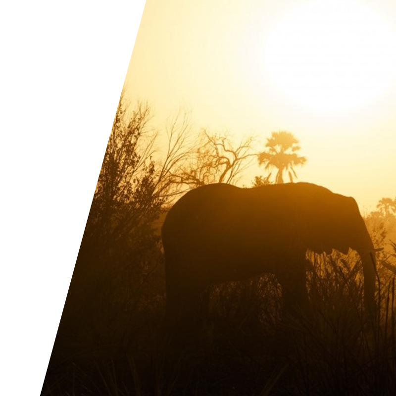 Bravr Online strategy background image of elephant walking in the sunset