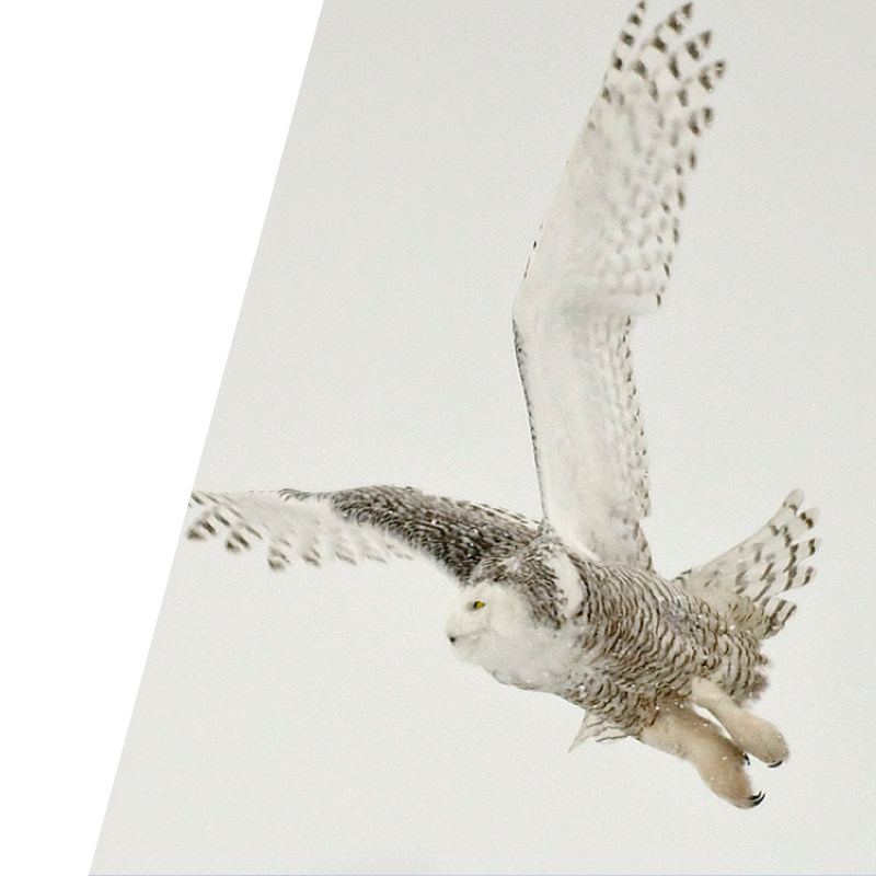Bravr PPC background image of owl flying