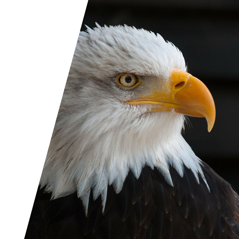 eagle looking in front of dark background