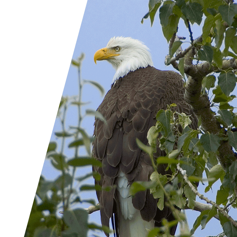 eagle perched in tree with leaves