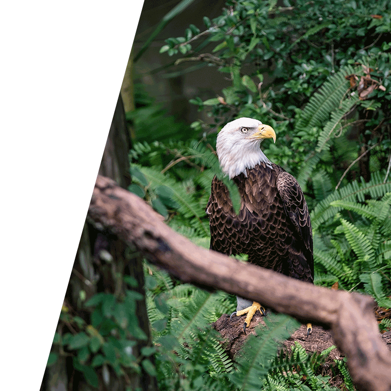 eagle perched in dense undergrowth