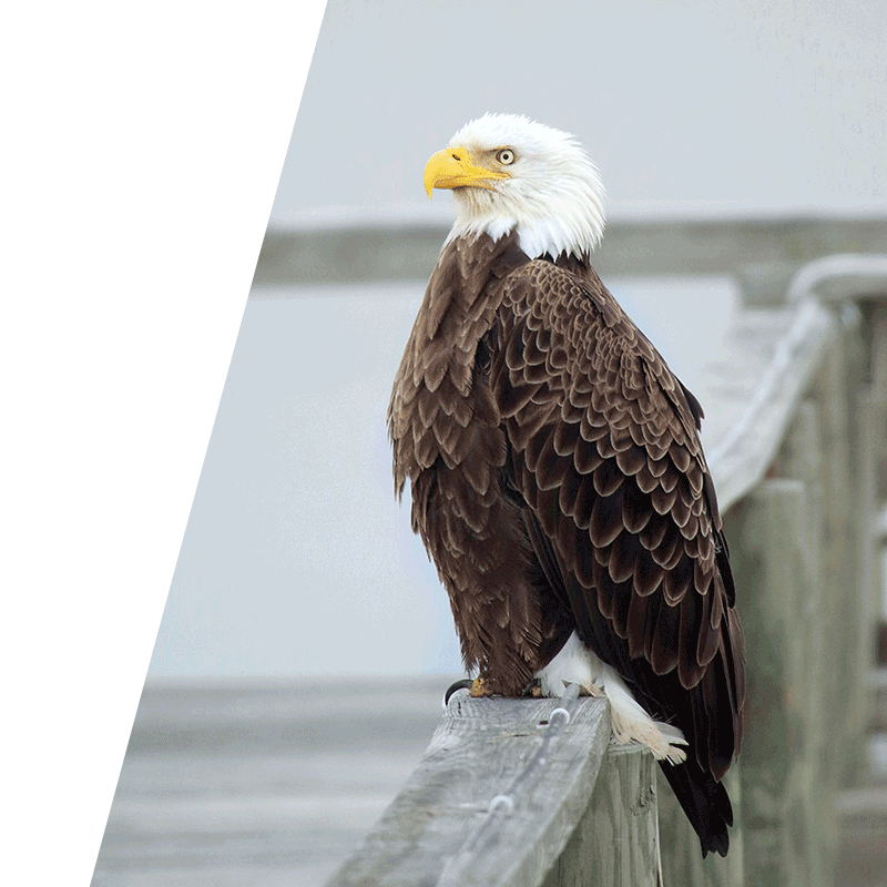 eagle perched on a railing