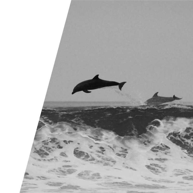 Social Media balck & whit background image of dolphins