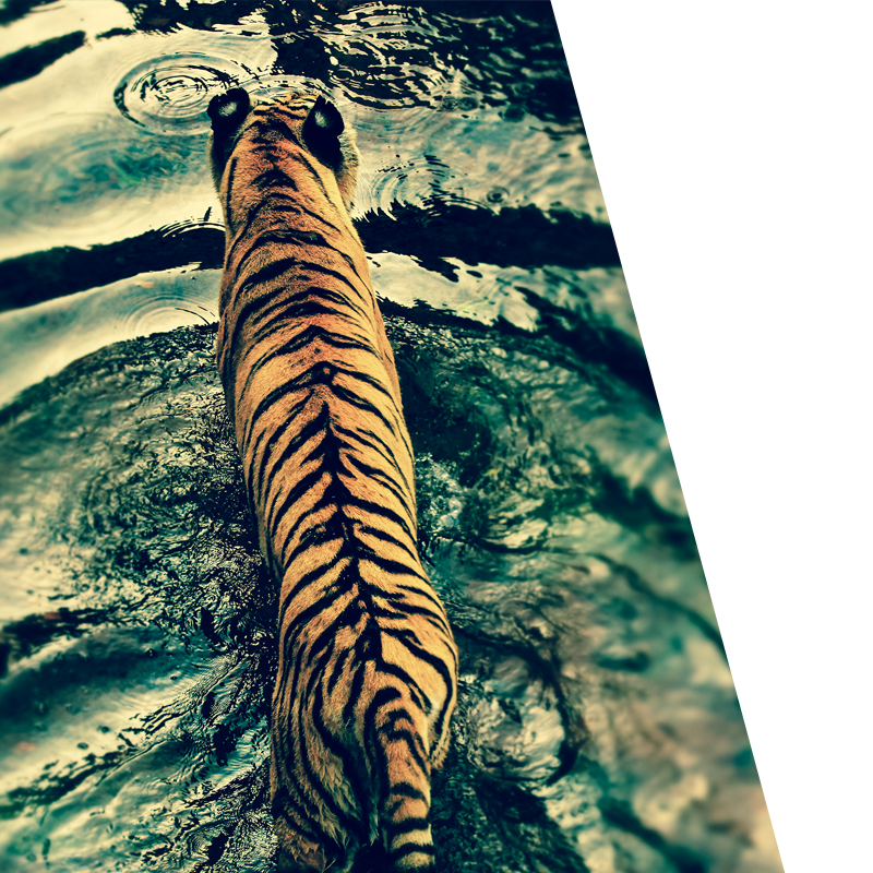 Bravr Digital content POV background image of tiger walking through water