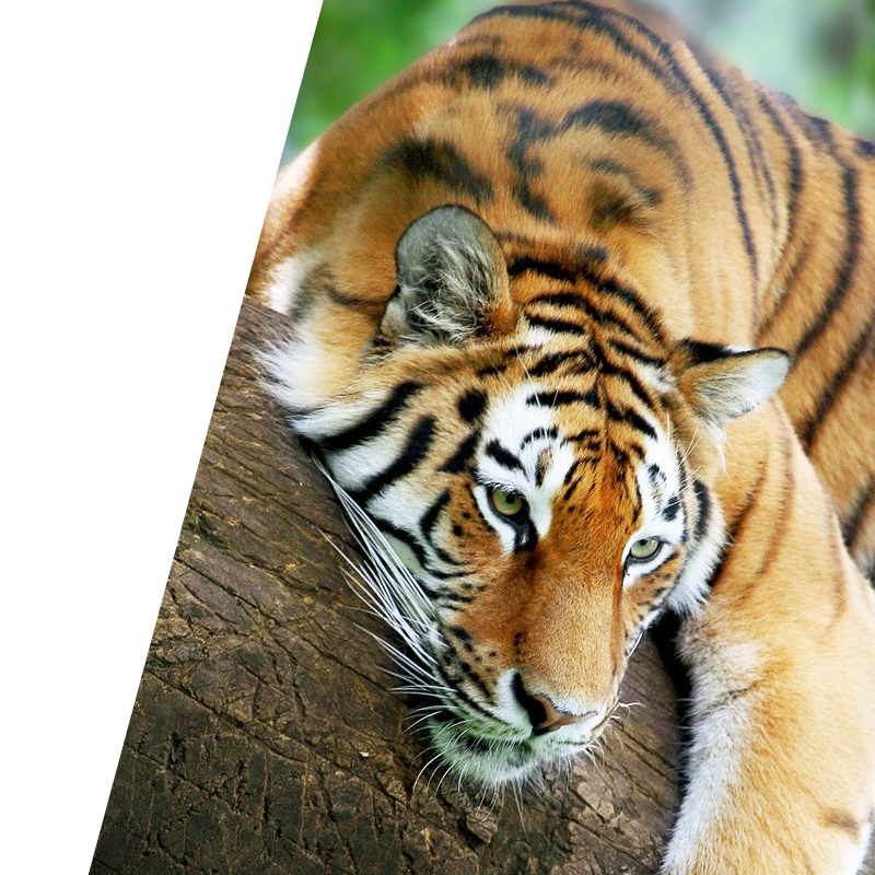 Bravr digital content background image of tiger laying on branch